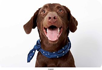 Labrador Retriever Dog for Sale in New York, New York - Charley