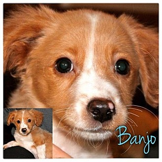Dachshund/Beagle Mix Puppy for Sale in Westland, Michigan - Banjo
