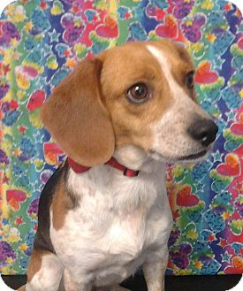 Beagle Mix Dog for Sale in London, Kentucky - Tillie