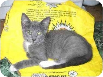 Domestic Shorthair Cat for adoption in Falls, Pennsylvania - Amy