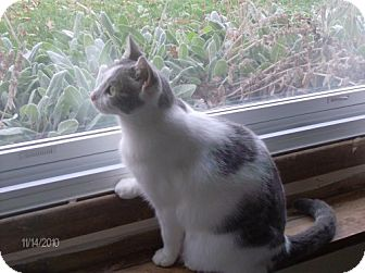 Domestic Shorthair Cat for adoption in Elyria, Ohio - Cloudy-Will I Ever Have My Own Home?