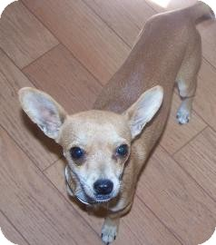 Chihuahua Dog for adption in Glendale, Arizona - Remi