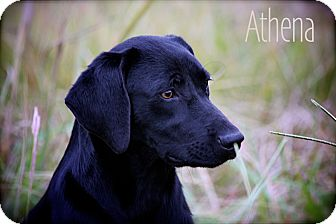 Labrador Retriever Mix Dog for Sale in Wilmington, Delaware - Athena