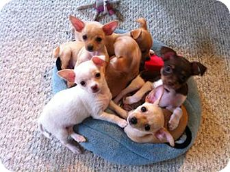 Chihuahua Mix Puppy for Sale in San Diego, California - Puppies