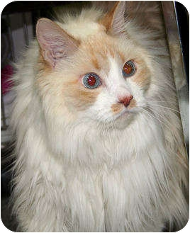 Domestic Longhair Cat for Sale in Edmonton, Alberta - Tippy