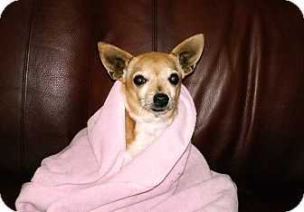 Chihuahua Mix Dog for adption in Scottsdale, Arizona - Sam