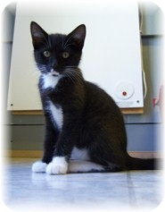 Domestic Shorthair Kitten for Sale in Shelton, Washington - Colleen