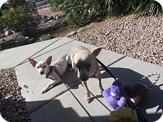 Chihuahua/Terrier (Unknown Type, Small) Mix Puppy for Sale in Phoenix, Arizona - Frostie Only $25 adoption fee!
