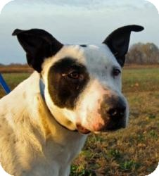 American Pit Bull Terrier Mix Dog for adption in Russellville, Kentucky - Petie