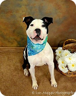 American Pit Bull Terrier Mix Dog for adption in Ann Arbor, Michigan - Sparky