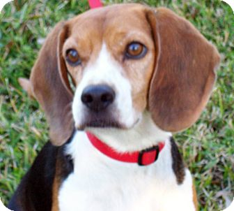 Beagle Dog for Sale in Houston, Texas - Rob