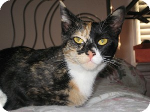 Calico Cat for adoption in Belleville, New Jersey - Kaiya