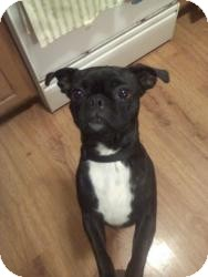 Pug Mix Dog for Sale in Youngstown, Ohio - Pebbles ~ Pending Adoption