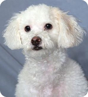 Poodle (Miniature)/Bichon Frise Mix Puppy for Sale in Encinitas