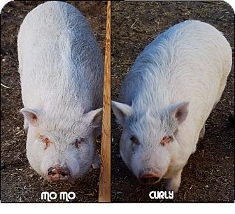 Pig (Potbellied) for Sale in Las Vegas, Nevada - Mo & Curly