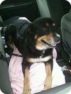 Bernese Mountain Dog/Rottweiler Mix Dog for Sale in Carey, Ohio - BEEBO