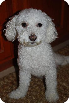 Bichon Frise/Poodle (Toy or Tea Cup) Mix Dog for Sale in Draper, Utah
