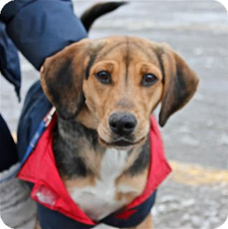 Beagle Mix Dog for Sale in Douglas, Ontario - Buffy
