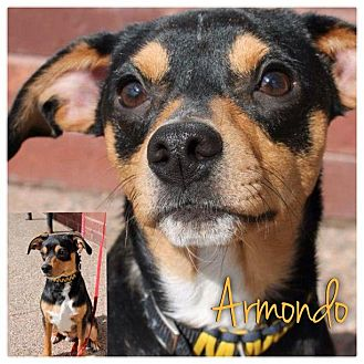 Miniature Pinscher Mix Puppy for Sale in Westland, Michigan - Armondo