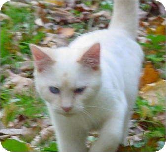 Colorpoint Shorthair Kitten for adoption in Brookville, Indiana - Sez