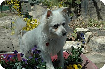 American Eskimo Dog Dog for adption in Ft. Collins, Colorado - General