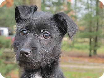 Scottie, Scottish Terrier/Terrier (Unknown Type, Small) Mix Puppy for Sale in Spring Valley, New York - Buttons