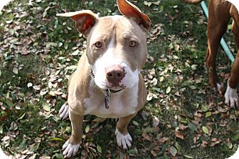 American Pit Bull Terrier Mix Dog for adption in Temecula, California - Jeffrey- 44 lbs!