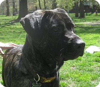 Mastiff/Retriever (Unknown Type) Mix Dog for adption in New York, New York - Buffy