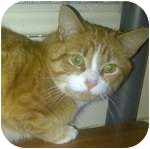 Domestic Shorthair Cat for adoption in Ottawa, Ontario - Reddy