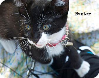 Domestic Shorthair Kitten for Sale in santa monica, California - Baxter