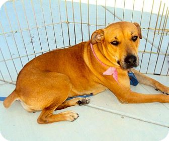 Labrador Retriever/Black Mouth Cur Mix Dog for adption in San Diego, California - Roxy