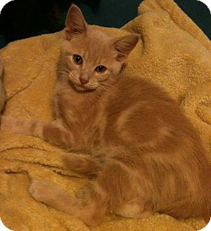 Domestic Shorthair Cat for Sale in Sterling Hgts, Michigan - Lyle