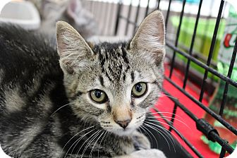 Domestic Shorthair Kitten for Sale in santa monica, California - Juniper