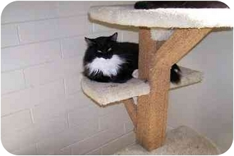 Domestic Mediumhair Cat for adoption in Tempe, Arizona - Zorro