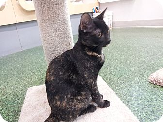 Domestic Shorthair Kitten for adoption in Mesa, Arizona - Suzie