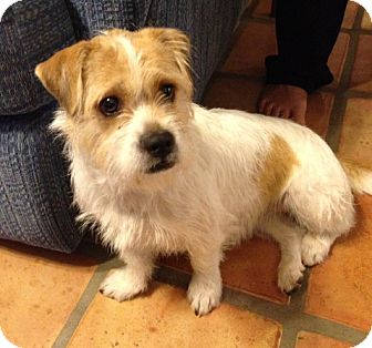 Jack Russell Terrier/Tibetan Terrier Mix Dog for Sale in Scottsdale, Arizona - SADIE V