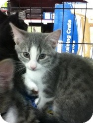 Domestic Shorthair Kitten for Sale in Riverside, Rhode Island - Sarah