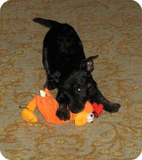 Scottie, Scottish Terrier/Miniature Pinscher Mix Puppy for Sale in Pulaski, Tennessee - Kid Tested - Mom Approved!!!