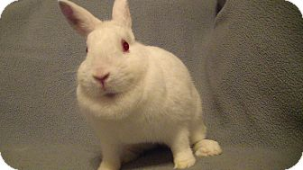 Netherland Dwarf Mix for Sale in Garland, Texas - Pico