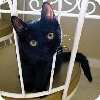 Domestic Shorthair Kitten for adoption in Mississauga, Ontario, Ontario - Belle Matisse