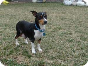 Dachshund/Fox Terrier (Smooth) Mix Dog for Sale in Marlton, New Jersey - Daphne