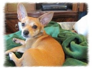 Chihuahua/Dachshund Mix Dog for Sale in Sacramento, California - Daisy