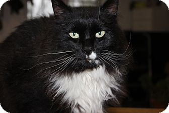 Domestic Longhair Cat for adoption in Maxwelton, West Virginia - Felix