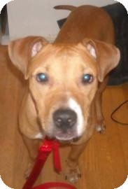 American Pit Bull Terrier Mix Dog for adption in Brooklyn, New York - Prince