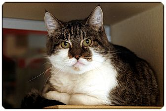 Domestic Shorthair Cat for adoption in Sterling Heights, Michigan - MaKenna