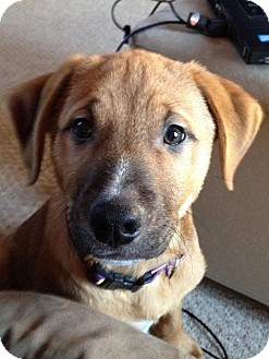 German Shepherd Dog/Labrador Retriever Mix Puppy for Sale in Westland, Michigan - Mistletoe