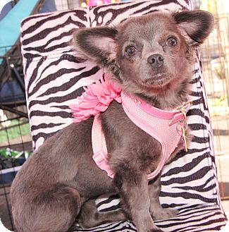 Yorkie, Yorkshire Terrier/Chihuahua Mix Puppy for adption in Gilbert, Arizona - Precious