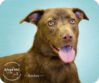 Labrador Retriever Mix Dog for Sale in Phoenix, Arizona - Amber