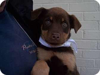 Rottweiler/Shepherd (Unknown Type) Mix Puppy for Sale in Germantown, Maryland - Rhonda