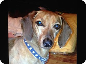 Dachshund Dog for Sale in Atascadero, California - Skippy